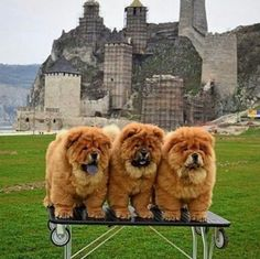 Just a couple of 😎😎😎 Perros Chow Chow, Chow Chow Dogs, Cute Puppies, Cute Dogs, Dogs And Puppies, Doggies, Cute Baby Animals, Animals And Pets, Animal Magic