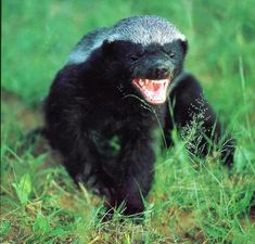 This is the Honey Badger. Watch it run in slow motion. EWWW, whats that in its mouth? Watch out, says that bird. They Honey Badger don't care, he just takes what he wants.