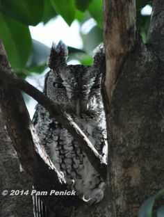 """Screech owl Pam Penick spotted in her garden, """"first of the season,"""" she says!"""