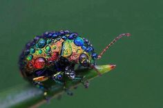 This gorgeous creature is Chrysolina cerealis, also known as the rainbow leaf beetle. They're found throughout Eurasia, and are about 8mm long. Typically, the females are larger than the males.