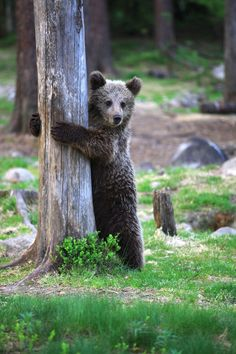 A bear playing hide-n-seek. | The 40 Most Adorable Baby Animal Photographs Of 2013