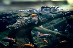 lvndcity: Submerged by Chris Frank Amphibians, Reptiles, Crocodile, Elephant, Cute, Animals, Inspiration, Wild Animals, Color