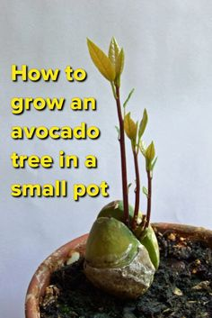Stop buying avocados. Here's how you can grow an avocado tree in a small pot at…