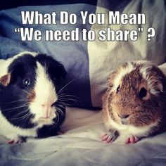 Guinea Pig Food, Habitat and Antics - Small Pet Select   Your #1 Source for Timothy Hay http://smallpetselect.com/