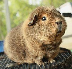 Flora the guinea pig by fizzyjess, via Flickr