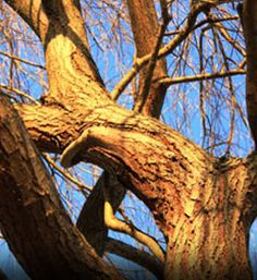 weeping willow tree - good tree to climb