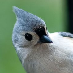 We get these cute little tufted titmouse birds at our feeder all the time. I think they are so cute!