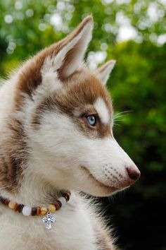 sled-wolf-siberian-husky  Beautiful, and I LOVE the beaded collar!