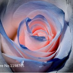 Free shipping 50 Blue and Pink Rose Seeds ,rare color ,rich aroma, Home Garden