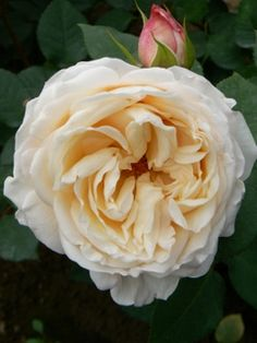 Cream Garden Rose classic woman is one of the most sought after creamy white garden