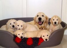 Golden retriever puppies with their motherhttps://i.redd.it/4p0xve6c1sl01.jpg #goldenretriever