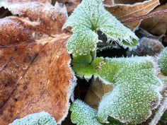 #Frost #nature #leaves