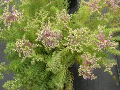 Sedum  pulchellum Plants, Botany, Green, Cacti And Succulents, Sedum, Green Roof