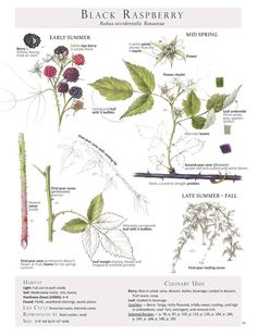 Black Raspberry (Rubus occidentalis) Plant Identification page from our book Foraging & Feasting: A Field Guide and Wild Food Cookbook by Dina Falconi; illustrated by Wendy Hollender