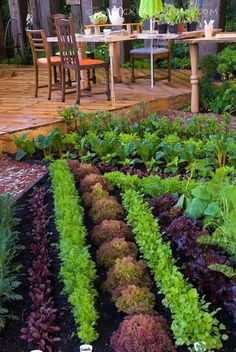 Beautiful Vegetable Garden & Backyard Deck and patio furniture, rows of colored lettuces, chard, carrots, and other edible food garden plants