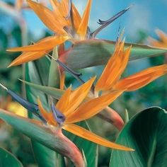 Bird of Paradise ( Strelitzia) | Plants2You.com
