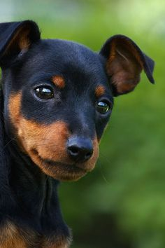 The Doberman Pinscher is among the most popular breed of dogs in the world. Known for its intelligence and loyalty, the Pinscher is both a police- favorite Mini Pinscher, Miniature Doberman Pinscher, Mini Doberman, Miniature Dog Breeds, Toy Dog Breeds, Small Dog Breeds, Small Dogs, Cute Puppies, Dogs And Puppies