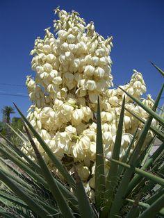 El Salvador:  izote, blue-stem yucca, giant yucca / izote, güinte, yuca pie de elefante, yuca de interior (Yucca gigantea, Yucca elephantipes)  http://en.wikipedia.org/wiki/Izote  http://es.wikipedia.org/wiki/Yucca_elephantipes