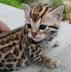 Baby Bengal Cat.