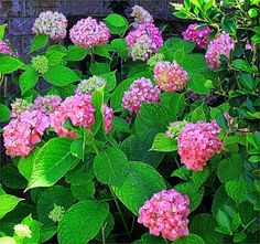 Five Tips For Beautiful Hydrangeas: a bunch of these are going in the front yard. Purple here we come!