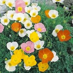 Alpine Poppy Seeds | Papaver alpinum | Perennial Flower Seeds
