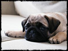 My ZuZu as a puppy....the only thing cuter than a pug is a pug puppy;-)