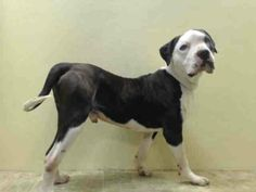 """*****SURRENDERED AND TERRIFIED*****  After two years of being a part of a family, King was surrendered for """"no time."""" He's hurt, confused and not liking his current living arrangements. Please help a boy out...share him for a home today."""