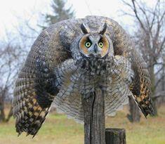 Boo! Owl in defensive mode, via Elkephant