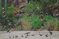 ,aves,ave,patos,aves acuaticas,aves del mar,, birds, poultry, ducks, waterfowl, seabirds