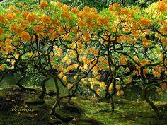 Native Azaleas