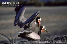 Even pelicans do it
