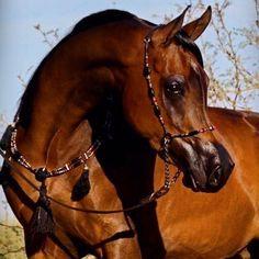 Mirá estos caballos Árabes - Son Hermosos - Taringa!