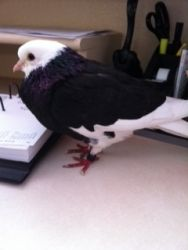 Carson is an adoptable Pigeon Dove in Hutchinson, KS. Birmingham Roller Pigeon, adoption fee is only $5! To buy a guy like me from a breeder would cost forty, so I'm quite the bargain!...
