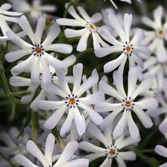 Phlox bifida (NGN) Cleft Phlox Mat-forming, excellent white blooms. Resistant to powdery mildew, root rot Height: 6-8 in Width: 8-12 in Soil Conditions: Dry Flower Color: White Bloom Time: April,May Hardiness Zone: 4 TO 8