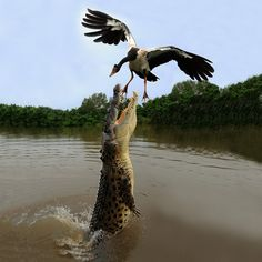 Darwin, Northern Territory Saltwater Crocodile and Magpie Goose  by Franco Mottironi, via 500px