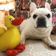 Rainy day at my house ... guess I have to play with the indoor Duck 🐥! #damnduck #thehamptons #happy #bullyinstagram #bullylifetv #bulldog #weeklyfluff #igdaily #instagram #instagood #igbulldogs_worldwide #babylu #bestwoof #monday #mannybuddyoftheweek #pets #photos4ellen #squishyfacecrew #theworldofbullies #igersoftheday #frenchie #frenchies1 #frenchbulldog #barkbox #bluegrassfrenchies