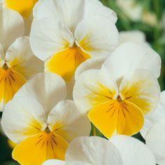 Soul FLOWERS Gelb - Soul Plants: Pflanzen für Garten & Seele