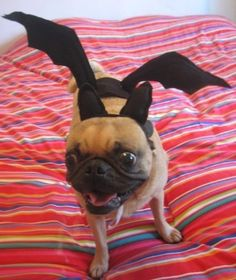 Would your dog let you dress him up as a bat for Halloween? #SocialblissStyle #Halloween #dog #costume