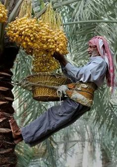 These are Date Palm trees and the man is picking the dates .... they are wonderful to eat! <3