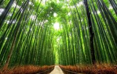 most-beautiful-tree-tunnels - Bamboo Path, Kyoto. This pathway is long, and runs through the Sagano Forest, one of Japan's most beautiful bamboo forests. Beautiful World, Most Beautiful, Beautiful Places, Beautiful Roads, Isla Vaadhoo, Bamboo Forest Japan, Tree Tunnel, Green Landscape, Landscape Pics