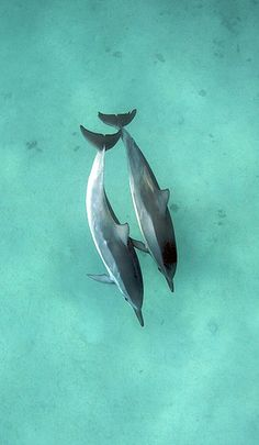 Spinner Dolphins at Honolua Bay (by Ryan Saul)