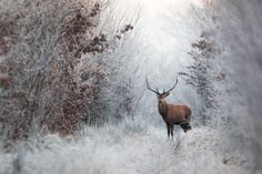 Deer in Winter Photograph by Le Boulanger Nicolas -- National Geographic Your Shot