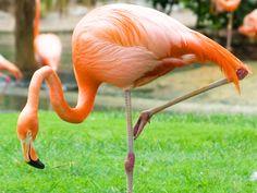 Lesser Flamingo  #GBWC #birdconservation #savebird #savelife