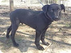 Chichester, NH - Labrador Retriever/Terrier (Unknown Type, Medium) Mix. Meet P Litter, a puppy for adoption. http://www.adoptapet.com/pet/17989097-chichester-new-hampshire-labrador-retriever-mix
