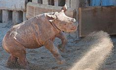 Nashorn-Baby im Zoo von Leipzig (März 2012): Spaß und Spiel ermöglichten es Fähigkeiten in relativer Sicherheit zu erwerben und zu verbessern, berichtet Richard Byrne von der Universität St Andrews....