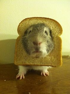 Guinea pig with its head through a slice of bread! Guinea Pig Costumes, Guinea Pig Clothes, Cute Funny Animals, Funny Animal Pictures, Cute Little Animals, Hamsters, Rodents, Baby Guinea Pigs, Baby Pigs