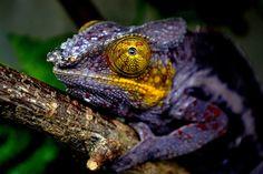Chameleon (Jäger & Sammler)