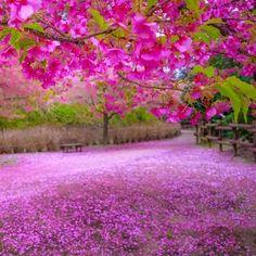 ラムミ (@ramumi8) • Fotos y videos de Instagram Pink Nature, Foto E Video, Cherry Blossom, Beautiful Flowers, Scenery, Instagram, Spring, Plants, Natural