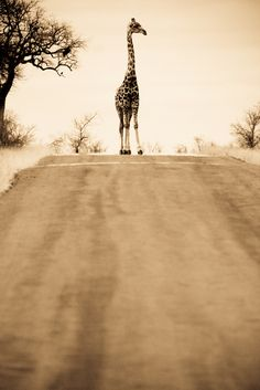 giraffe--That's a little bit different from cows in the road, isn't it?