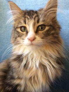 Amazing Maine Coon kitten